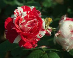 Candy Stripe Rose