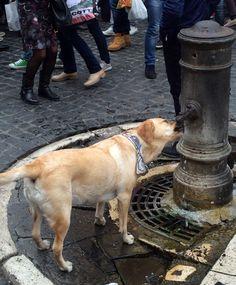 Labrador saciando su sed en una de las tantas fuentes de Roma.