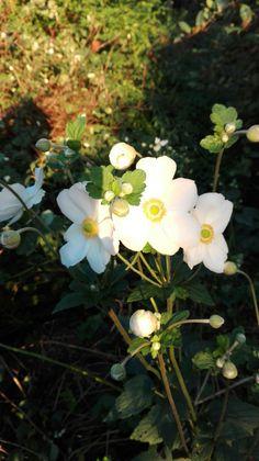 Anemone Japonica, la timida. Leggera, si nasconde all'ombra del Laburnum e si gode il malinconico settembre... Malinconico come lo sono tutti i settembre.