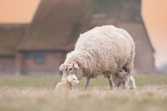 Baby lambs with their mama