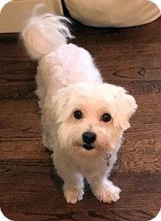 Atlanta, GA - Maltese Mix. Meet Freddie, a dog for adoption. http://www.adoptapet.com/pet/16135579-atlanta-georgia-maltese-mix