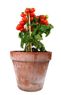 Growing tomatoes in a pot