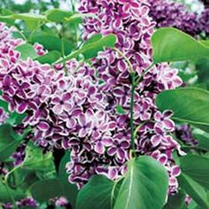 Gardener's Supply -- Learn how to plant and grow lilacs successfully.
