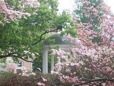 Dogwood at Old Well, UNC-Chapel Hill