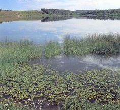 Næringsrige søer og vandhuller med flydeplanter. Naturligt eutrofe søer og vandhuller med vegetation af typen Magnopotamion eller Hydrocharition.  Kulsø ved Skjernå, Midtjylland. I søen vokser bl. a. hjertebladet vandaks, som dog ikke ses på billedet. Foto: Bert Wiklund.  Mere eller mindre næringsrige søer og vandhuller, hvor der enten findes fritflydende vandplanter eller visse store arter af vandaks. Vandet kan være rent og klart, men er i mange søer blevet mere eller mindre grumset og…