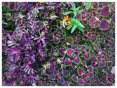 Picture_42 #flowers #purple #nature #plants #flowerpot #suburbs #Chicago #arlingtonheights #AkaAki157