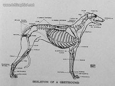 drawing greyhounds, greyhound anatomy