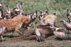 Hyena and vultures at a kill in Kruger National park