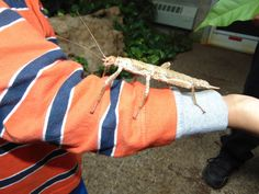 New Guinea Spiny Stick Insect - They can grow to be larger than this.