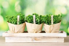 ***¿Cómo Cultivar Tomillo?*** Aprende cómo cuidar una planta de tomillo muy fácil, para tener su sabor y todas sus propiedades siempre a mano a lo largo de todo el año......SIGUE LEYENDO EN...... http://comohacerpara.com/cultivar-tomillo_12814h.html