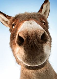 Donkey & Love them! The post Donkey Face Funny Belated Birthday Card & Greeting Card by Avanti Press appeared first on Gag Dad. Animals And Pets, Baby Animals, Funny Animals, Cute Animals, Beautiful Creatures, Animals Beautiful, Animal Original, Cute Donkey, Donkey Funny