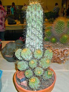 Copiapoa haseltonia by plantmanbuckner, via Flickr
