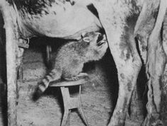 Raccoon Standing On A Wooden Chair And Milking From A Cow In The Shed In Daylight