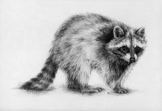 sketches on racoons | Raccoon by ~ oakleyc