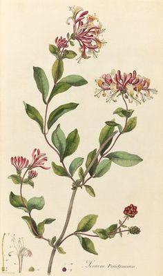 Lonicera periclymenum, Kilburn, William (c.1745-1818) (Engraver and Artist)