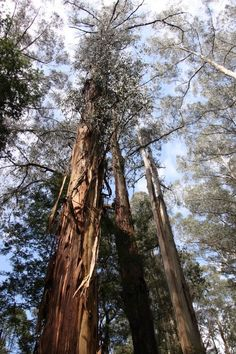 Escape from the city: towering ash in Sherbrooke forest in the beautiful Dandenong Ranges.