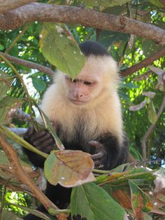 We saw 4 kinds of Monkeys in Costa Rica - Howlers, Spider, Squirrel and White Faced. Rainforest Pictures, Ape Monkey, Big Animals, Baboon, Primates, Wildlife Photography, Pet Birds, Study Help, Wild Life