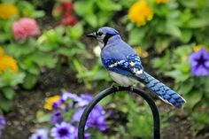 Blue jay among the flowers