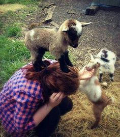 Check out The 34 Cutest Baby Pygmy Goats On The Internet! at http://pioneersettler.com/cute-pygmy-goats-photos/