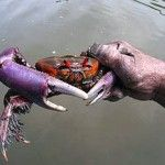 The Ministry of Agriculture, Livestock, Aquaculture and Fisheries (Magap) announced that from January 15 to February 15, 2013 a ban on the collection of mangrove (Ucides occidentalis) and mouthless (Cardisoma crassum) crabs would be applied.
