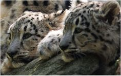 Two Clouded Snow Leopard Cubs Deciding to be Lazy.