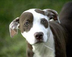 Petango.com – Meet Tallulah, a 5 months 19 days Terrier, Pit Bull / Mix available for adoption in Kansas City, MO