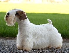 With any luck at all, this will be my next pet: the Sealyham Terrier.