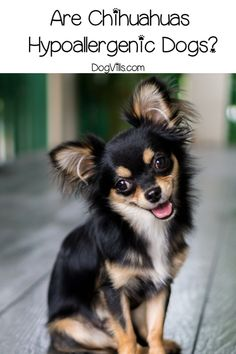 They're definitely one of the most popular small breeds, but are chihuahuas hypoallergenic dogs? Read on to find out the answer! Small Puppies, Cute Dogs And Puppies, Baby Puppies, Chihuahua Puppies, Chihuahuas, Hypoallergenic Puppies, Dog Travel, Travel Tips, Allergic To Dogs