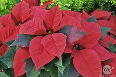 """Because of its beautiful red and green coloring, the Poinsettia is a very popular at Christmas, which is why is it sometimes also known as the """"Christmas Flower."""" But did you know the red parts are not actually part of the flower? They're bracts -- a type of leaf that surrounds a flower -- that turns red in winter. They can be quite tricky to grow outside their native habitat. Flower Power can help you keep your poinsettia happy year-round!"""