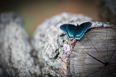 ANN BERTSCHIN PHOTOGRAPHY | BUTTERFLIES