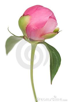 Peony flower bud (Paeonia suffruticosa) isolated on white , Peony Flower Photos, Flower Images, Peony Painting, Peony Drawing, Watercolor Flowers Tutorial, Floral Watercolor, Botanical Drawings, Botanical Art, Small Flower Drawings