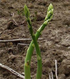 Come si coltivano gli asparagi nell'orto: una verdura che richiede molto lavoro ma ripaga il contadino con grandi soddisfazioni. Ecco una guida per la coltivazione biologica dell'asparago.