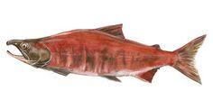 Fish  salmon Royalty Free Stock Photo