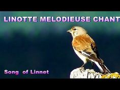 LINOTTE MELODIEUSE - Chant   Linnet singing