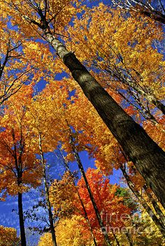 Fall maple trees fine art photography print - Copyright © Elena Elisseeva - this is why i love the fall so much Warm Autumn, Autumn Art, Autumn Trees, Fine Art Photography, Nature Photography, Landscape Photography, Bibel Journal, Fall Pictures, Fall Pics
