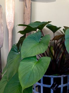 Homalomena Rubescens  A beautiful tropical foliage plant suited to indoors in a space with indirect light  $45