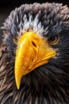 Stellers Sea Eagle by Alexander Hartmann / 500px Steller's Sea Eagle, Birds Of Prey, Bald Eagle, Animals, Animales, Animaux, Animal, Animais