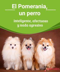 El Pomerania, un perro inteligente, afectuoso y nada agresivo - Mis animales El Pomerania es de la familia de los Spitz y está considerado un perro toy o perro juguete, debido a su pequeño tamaño. ¿Os animáis a conocerlo mejor?