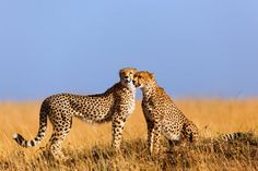 'Cheetah mom with daughter, Masai Mara, Kenya' von Maggy Meyer bei artflakes.com als Poster oder Kunstdruck $17.33