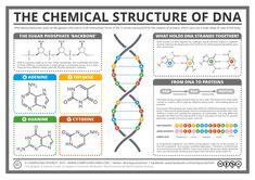 La estructura química del ADN, y su función en la creación de proteínas