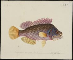 The Chinese Fish Collection is a large set of 19th century watercolour sketches depicting species from the waterways and seas of China and Japan.