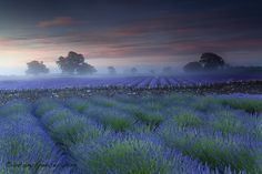 The Somerset Lavender Farm is home to more than 50,000 lavender plants, rows of vibrant bushes spread amongst a 5-acre field. If you come at just the right time (usually June or July), you may be able to capture a photo that looks very similar to an Impressionist painting.  Photographer Antony Spencer, who shot the photo immediately above and below told The Daily Mail, You have a window of just ten days each year when the lavender is at its best before its harvested so its a matter of…