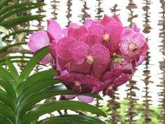 Vanda orchid..