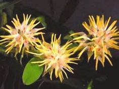 Orquídea Bulbophyllum odoratissimum