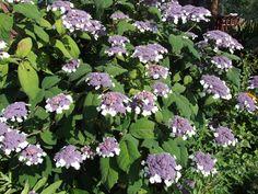 Hydreangea aspera subsp. sargentiana