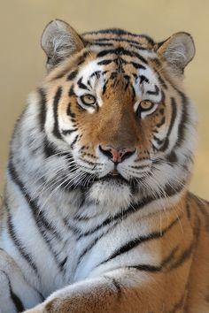 Beautiful Tiger Ina by Jutta Kirchner Beautiful Cats, Animals Beautiful, Cute Animals, Tiger Pictures, Cute Animal Pictures, Chat Lion, Tiger Artwork, Tiger Wallpaper, Big Cats Art