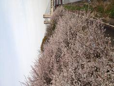 2013'sakura' in japan