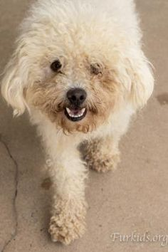 ADOPTED!  Three year old Kulfi is happy to be looking and feeling great! That wasn't the case when Furkids rescued him from a county kill shelter.  Kulfi was a hot mess when we found him but beneath the filth and mats we saw that irrepressible Bichon smile and wagging tail.  To view available dogs, go to https://furkids.org/dog-adoptions.