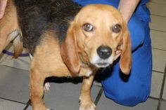 Norman: Sweet beagle with the saddest face is out of time at high-kill shelter ADOPTED