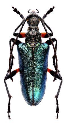 Gaurotes (Patragaurotes) doris